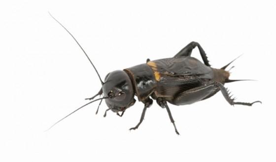 Krekel - insecten