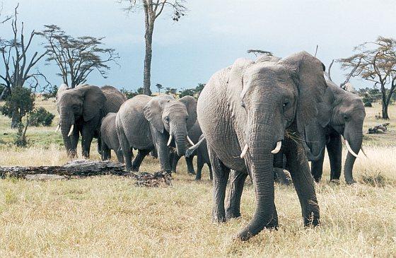 Kudde Afrikaanse olifanten online platform
