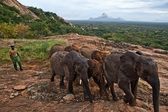 Kudde olifanten in Tsavo National Park