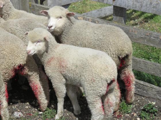 Wolleverancier van Patagonia snijdt lammetjes de nek door, vilt hen levend