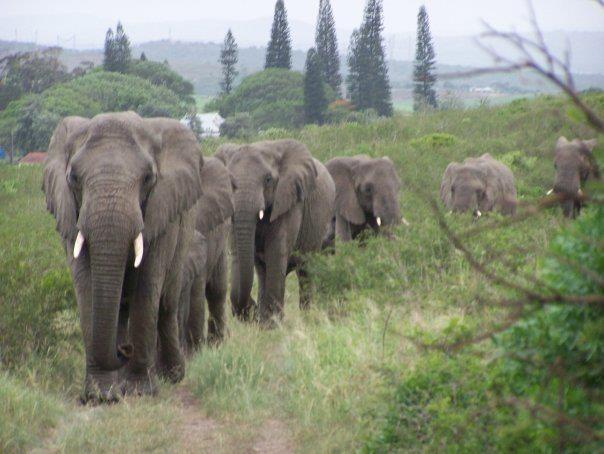 Thula Thula elephant herd