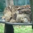 Malik, de treurigste leeuw van Duitsland (petitie)