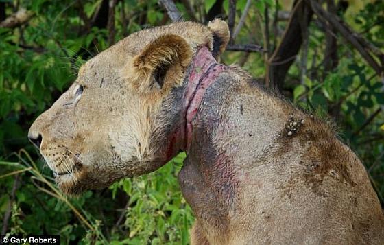 Jonge leeuw met strop om de nek