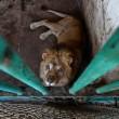 #GNvdD: Betere toekomst voor leeuwen Roemeense dierentuin