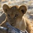 61 'canned' leeuwen geveild in Zuid-Afrika