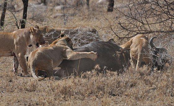 Leeuwen met buffel