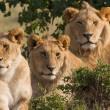 #GNvdD: Drie leeuwen uit Anna Paulowna vrijgelaten in het wild