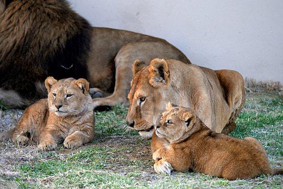 Leeuwengezin