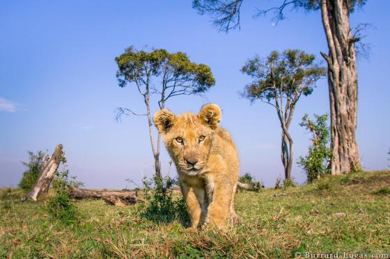 leeuwenwelpjes