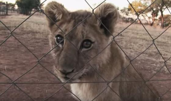 documentaire Blood Lions