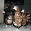 Vogelgriep Gelderland: 300.000 kippen gedood
