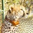Geliefd jachtluipaard doodgeschoten door jagers in Botswana