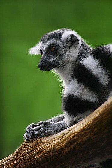 Lemur - Maki - Madagaskar