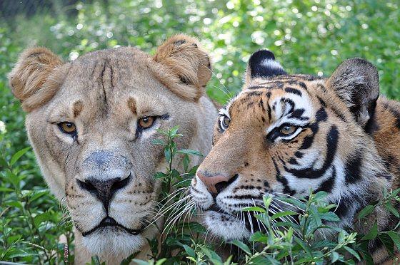 Leo en Shere Khan - dierenvriendschap