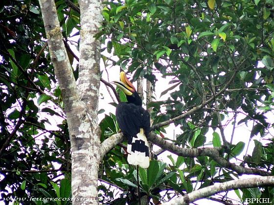 Neushoornvogel op de gevoelige plaat 'Eyes on Leuser'