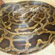 Python bevrijd uit afvoer