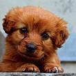 Puppyhandelaar krijgt verbod op verkoop importpups