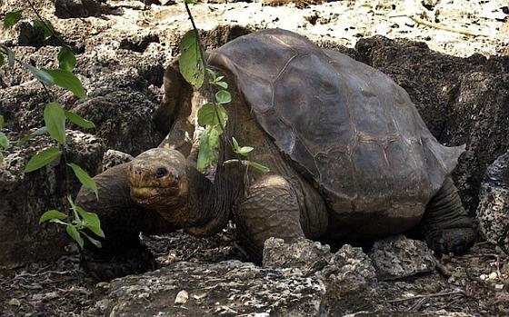 galapagosschildpad