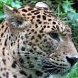 #GNvdD: Verenigde Arabische Emiraten verbieden luipaarden als huisdier