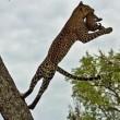 #GNvdD: Luipaard redt baby van python