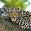 Populatie luipaarden in India sterk gedaald