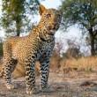#GNvdD: Reddingsactie van luipaard uit waterput