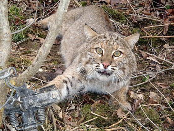 Lynx Bobcat trapping