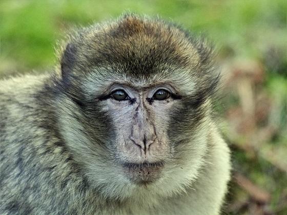 autisme bij apen