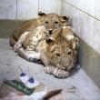 #GNvdD: Stichting AAP geeft twee leeuwenwelpjes een nieuw thuis