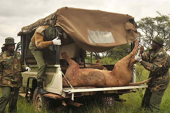 Masaï doden leeuwen