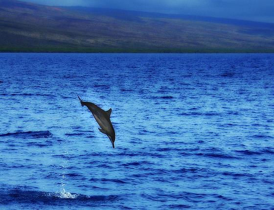 maui-dolfijn