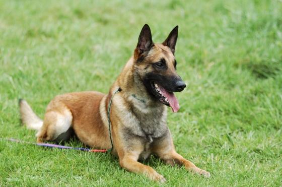 mechelse herder hond