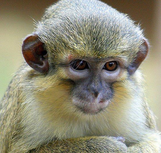 Meerkat - dode aap