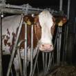 Zuivelproducten vaak vervuild met stalmelk