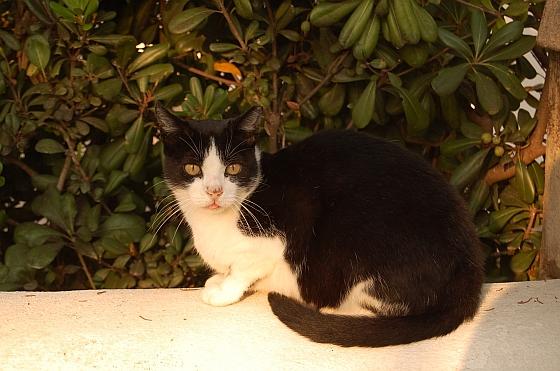 Kat Lizzie opgevangen door Stichting Dierenhulp Menorca