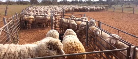wolindustrie - mishandeling schapen