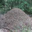 Bosmieren ten dode opgeschreven in Noordoost-Twente