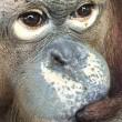 Verdwenen orang-oetan Milo teruggevonden