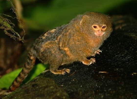 Mini-aapjes