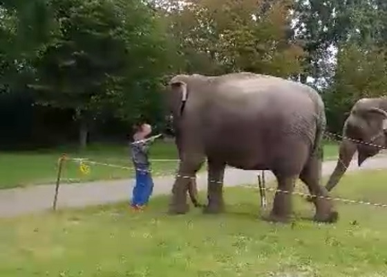 Olifant grote lul