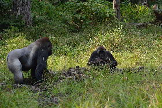 Moeder Malui met tweeling - gorillatweeling