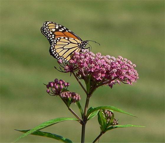 piepvandaag-monarchvlinder-rode-zijdeplant
