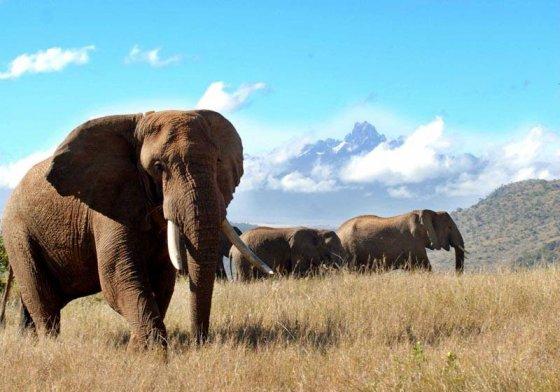 olifantstier