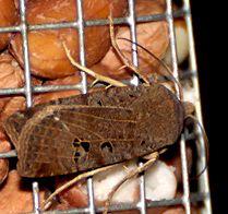 Nachtvlinder vetbol
