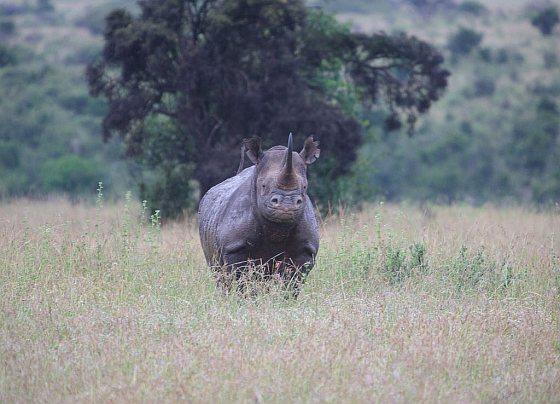 Neushoorn, Nationaal Park Nairobi