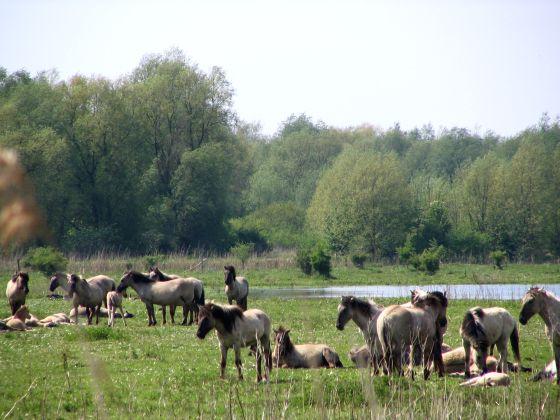Natuurgebied Oostvaardersplassen - konikpaarden
