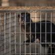 Waarschuwing voor dierenmishandeling op bontfokkerijen