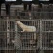 Animal Rights: trek vergunningen nertsenfokkerijen in