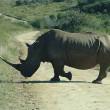 Nog steeds enorm aantal neushoorns slachtoffer van stroperij in Afrika