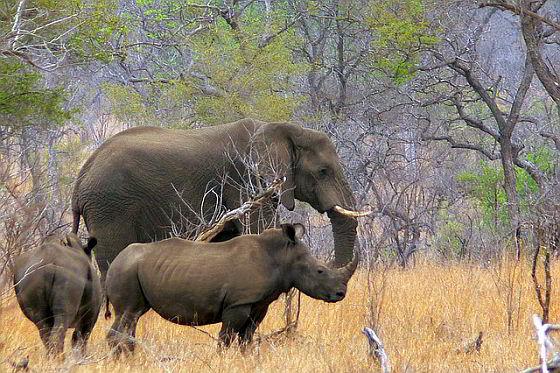 Neushoorn - olifant - Zuid-Afrika